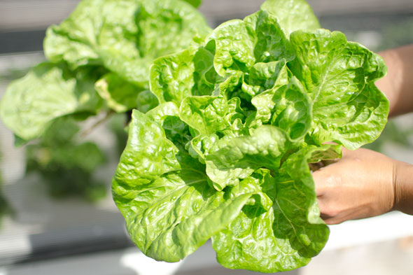 manoa lettuce