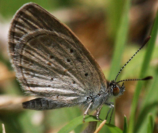 Zizina otis, the Lesser Grass Blue butterfly, photo by Jim Snyder