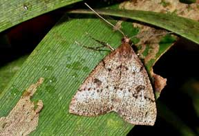 Koa moth, Scotorythra paludicola