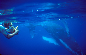 diver underwater with humpback whale