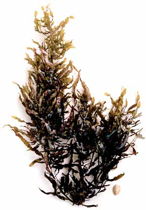limu kala seaweed