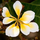 unusual 9-petaled plumeria