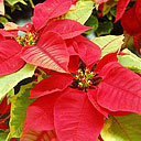 Permanent Link to Poinsettia pointers extend plant's life into new year