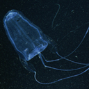 translucent blue box jellyfish against black background