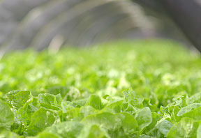 aquaponic grown lettuce