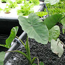Permanent Link to Aquaponic systems grow food sustainably