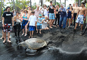 crowd gathered around Hawaiian sea turtle crawling into the ocean