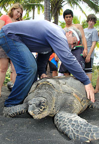 man with 300 pound sea turtle on black sand beach
