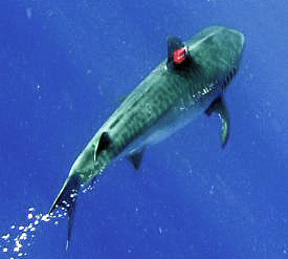 swimming shark with camera on dorsal fin