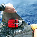 Permanent Link to Shark cam explains yo-yo swimming behavior