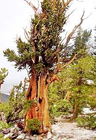 Tree on mountain slope in Southwest United States