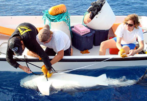 people in boat tagging a shark that is belly-up alongside the boat