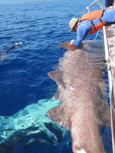 Два типа глубоководных акул имеют положительную плавучесть
