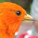 Native bird survival drops as molt lengthens