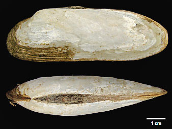 top and side view of elongated white clamshell