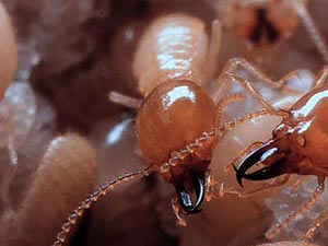 soldier and worker termite close-up