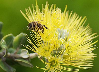 A honeybee on an ohia flower