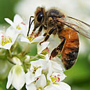 Varroa mite linked to destructive honeybee virus
