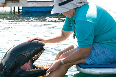 A person tending to a false killer whale