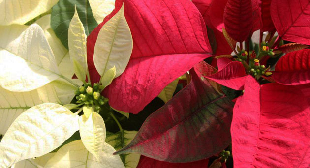 White and red poinsettia