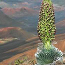 Haleakala silversword faces global warming threat