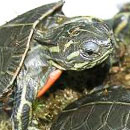 Scientists decode western painted turtle genome