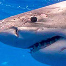 New understanding of Hawaii white shark movement revealed