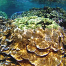 Scientists predict abundance and distribution of Hawaiian coral