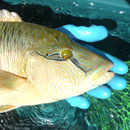 Scientists develop new method of estimating fish movements