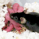 Infertile mice generate offspring in assisted reproduction study