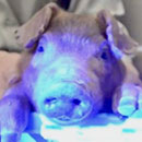 UH's reproductive technique produces glowing green pigs