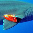 Researchers reveal insights into how sharks swim, eat and live