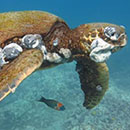Invasive algae, pollution cause lethal tumors on sea turtles