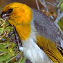 Restoration research on critically endangered Hawaiian forest bird published