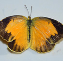 UH researchers identify new butterfly species to Hawaiian Islands