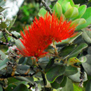 New portable testing speeds detection of rapid ʻōhiʻa death pathogens