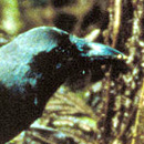 Video features ʻalalā, Hawaiian crow, research and conservation work