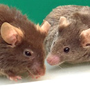 Y gene not necessary for assisted reproduction of mice