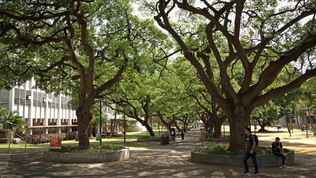 Monkey pod trees line McCarthy Mall on the Manoa campus