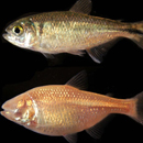 Research on cavefish may lead to therapeutic methods in autism, schizophrenia