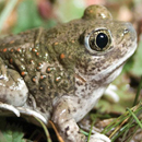 Amphibian and reptile conservation focus of new book