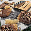 UH Honeybee Project keeps Hawaiʻi beekeeping buzzing