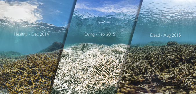 triptych- Health brown-gold coral on Dec. 2014, Dying white coral on Feb. 2015 and Dead decaying black-brown coral Aug. 2015