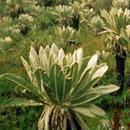 Ecuadorians disproportionately select non-native plants for medicinal use