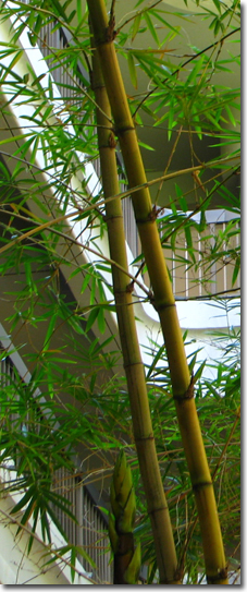 Bamboo Courtyard at Sakamaki Hall