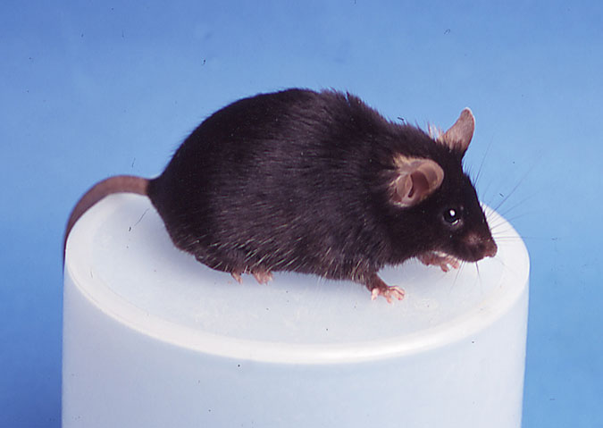 Cumulina, the worldʻs first cloned mouse