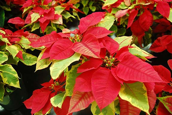 Poinsettia Plants Poinsettias Can Live Long After Christmas With Proper Care