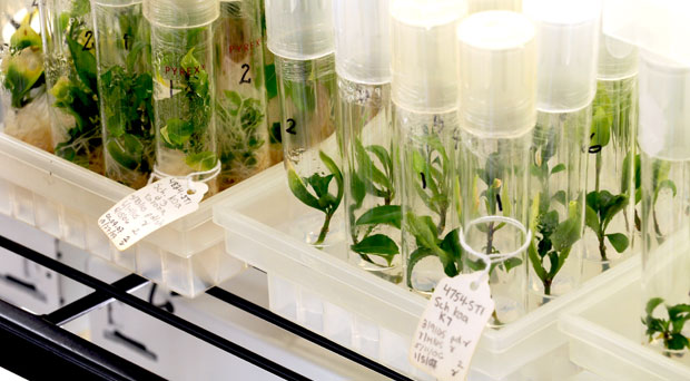 Lyon Arboretum's Micropropagation Lab