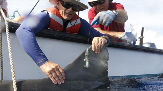 Shark Study Helps Explain Higher Incidence Of Encounters Off Maui