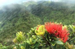 Ohia lehua blossoms over the Koolau mountains